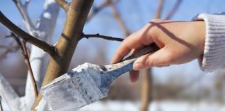 Весенняя побелка садовых деревьев