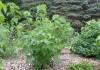 Куст смородины чёрной (Ribes nigrum)