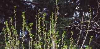 Куст смородины с распускающимися листьями