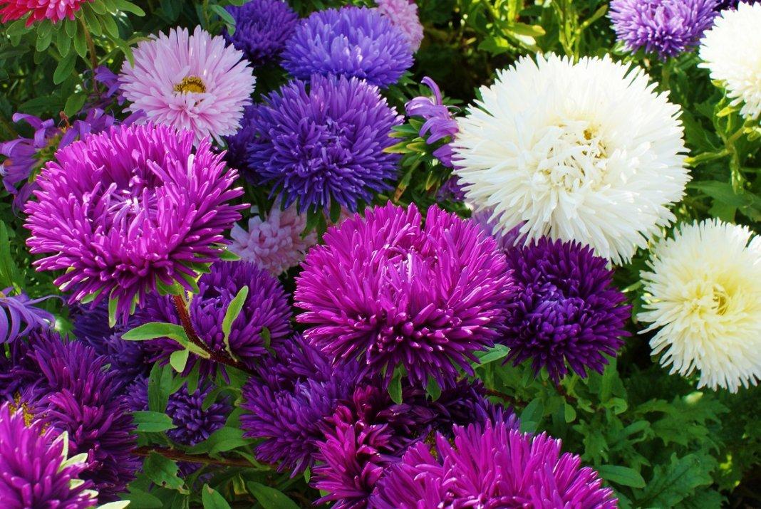 Садовая астра цветок