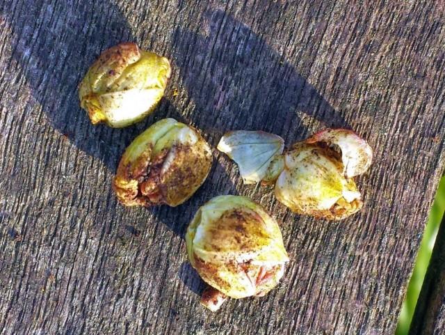 Пораженные смородинным почковым клещом почки смородины