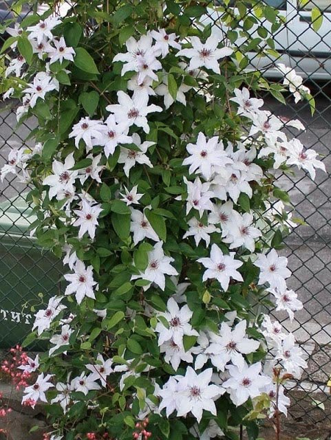 Clematis-Snow-Queen-3