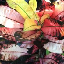 "Кодиеум пёстрый ""Миссис Айстон"" (Codiaeum variegatum 'Mrs. Iceton')"