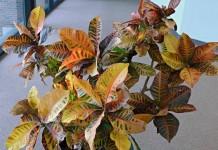 Кодиеум пёстрый (Codiaeum variegatum)