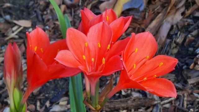 Циртантус высокий, или циртантус возвышенный (Cyrtanthus elatus), или Валлота прекрасная (Vallota speciosa)
