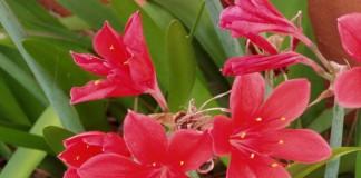 Циртантус высокий, или циртантус возвышенный (Cyrtanthus elatus)