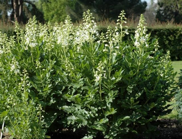 Ясенец белый (Dictamnus albus)