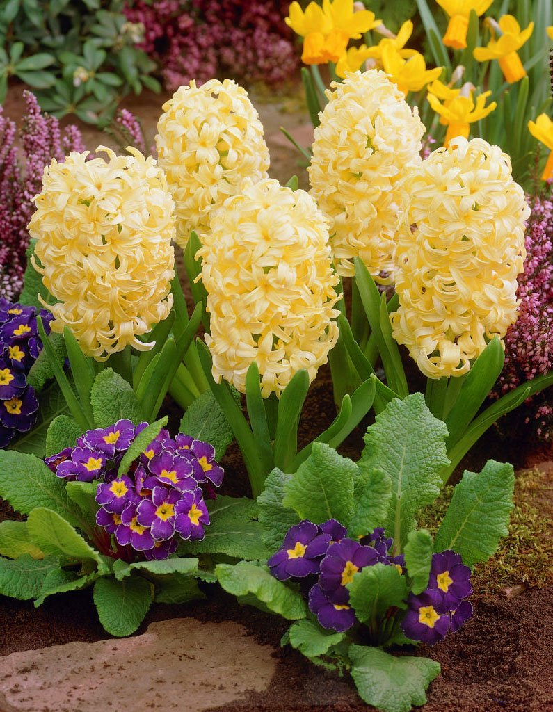 Hyacinthus-City-of-Haarlem-1