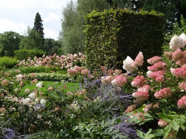 Гортензия метельчатая в оформлении сада