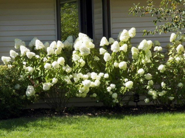 Гортензии метельчатые (Hydrangea paniculata)