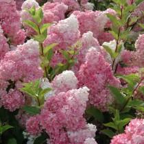 "Гортензия метельчатая ""Ренхи"" (Hydrangea paniculata 'Renhy')"