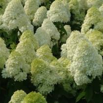 "Гортензия метельчатая ""Лаймлайт"" (Hydrangea paniculata 'Limelight')"