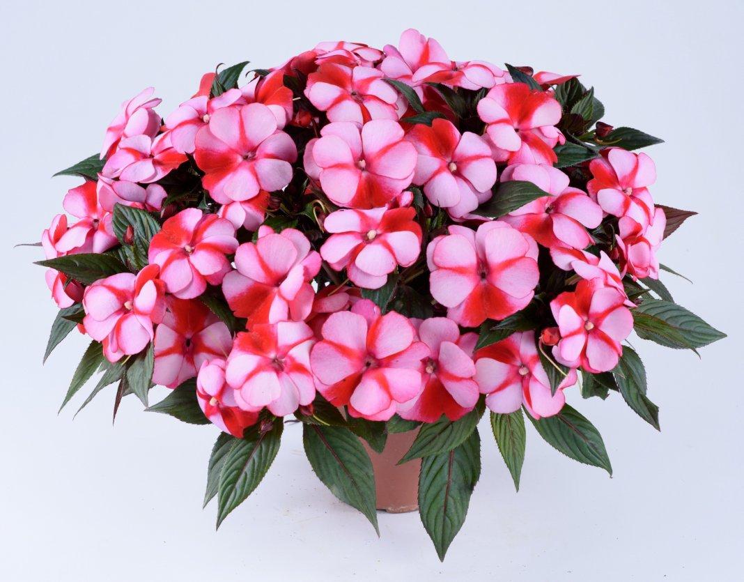 Бальзамин новогвинейский уход, фото Любимые цветы 699