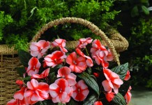 Бальзамин новогвинейский серия Florific сорт Sweet Orange