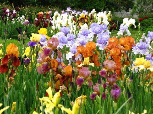 Ирис бородатый (Iris barbata)