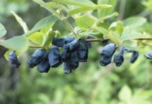 Жимолость голубая съедобная (Lonicera caerulea)