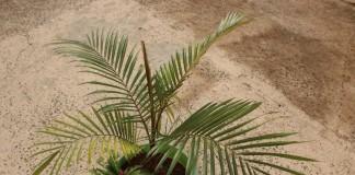 Литокариум прекрасный (Lytocaryum insigne)