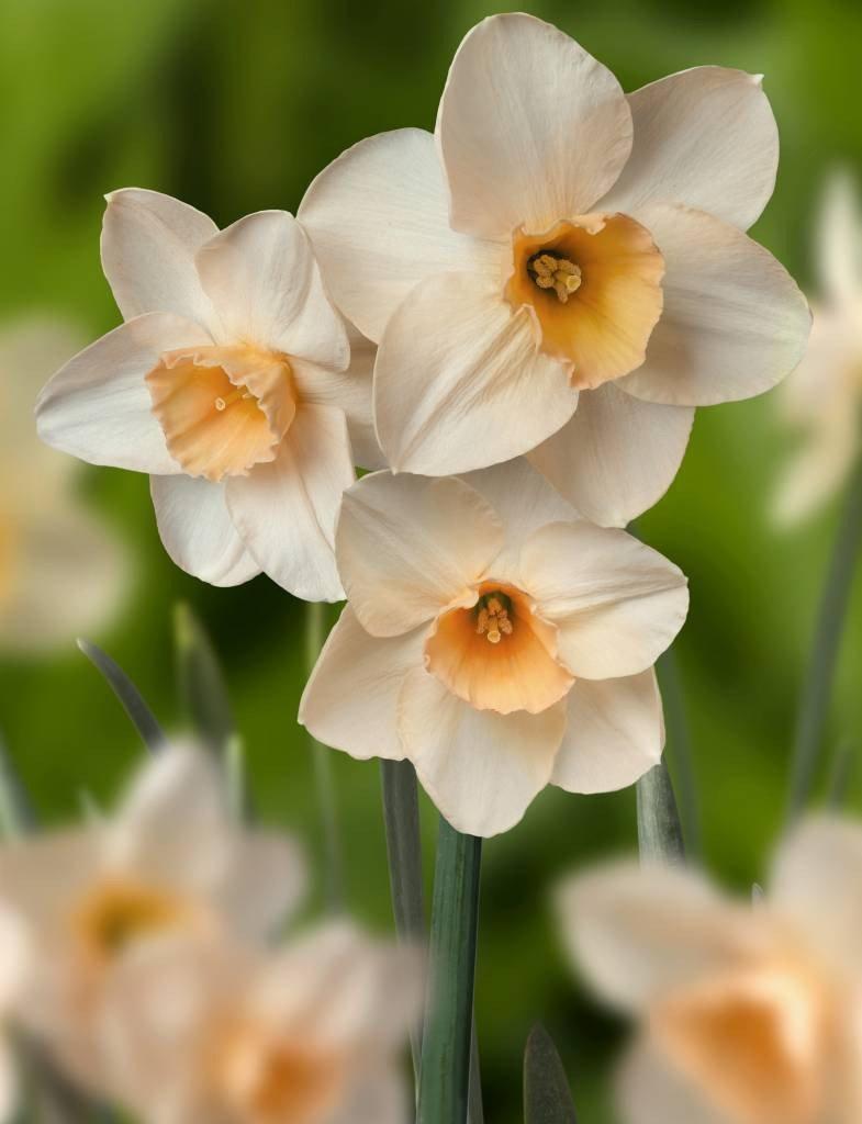 Narcissus-Prosecco-1