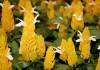 Пахистахис жёлтый (Pachystachys lutea)