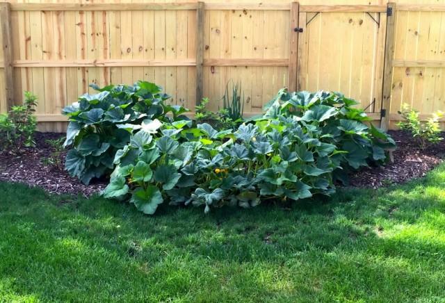 Кусты патиссонов в огороде