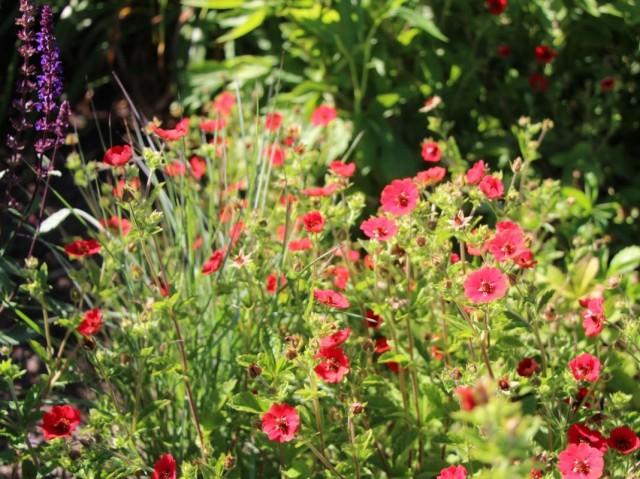 Лапчатка темно-кроваво-красная (Potentilla atrosanguinea)