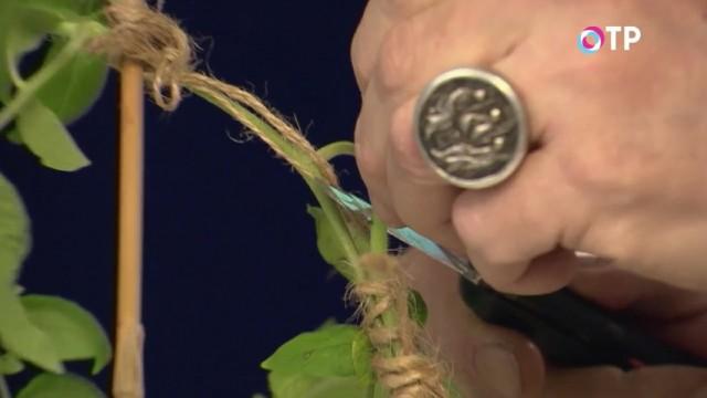 После срастания растений, удаляем верхушку ненужного томата