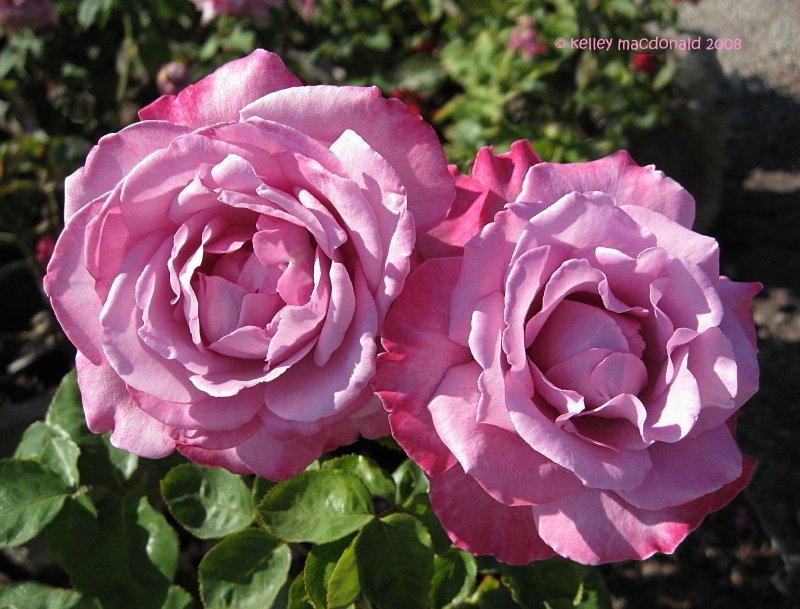 Rosa-Royal-Amethyst-2