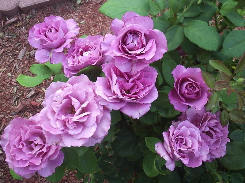 Rosa-Royal-Amethyst-3