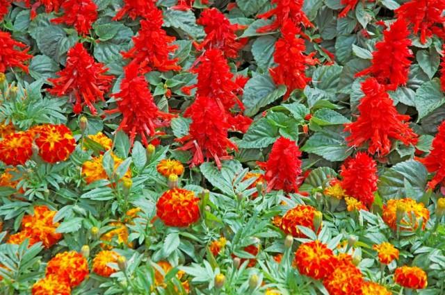 Бархатцы и сальвия в цветнике