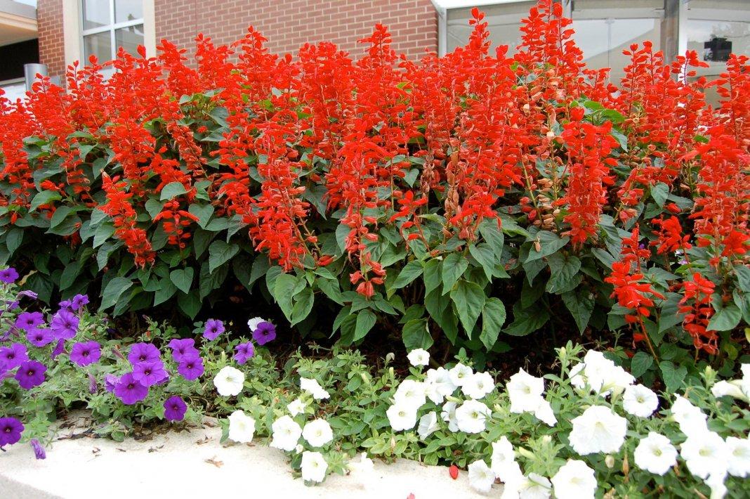 Цветок сальвия фото цветов рассада 421