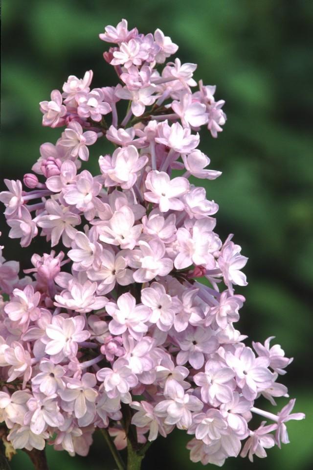 Сирень гиацинтовая «Анабель» (Syringa hyacinthiflora 'Annabel')