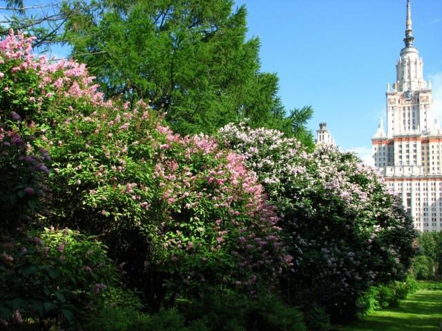 Сирень венгерская в Ботаническом саду МГУ