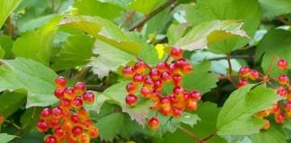 Калина обыкновенная, или Калина красная (Viburnum opulus)