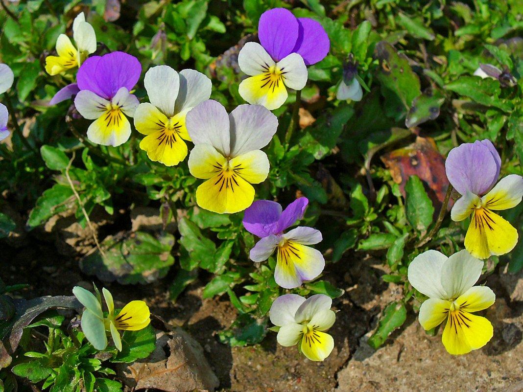 Viola-tricolor