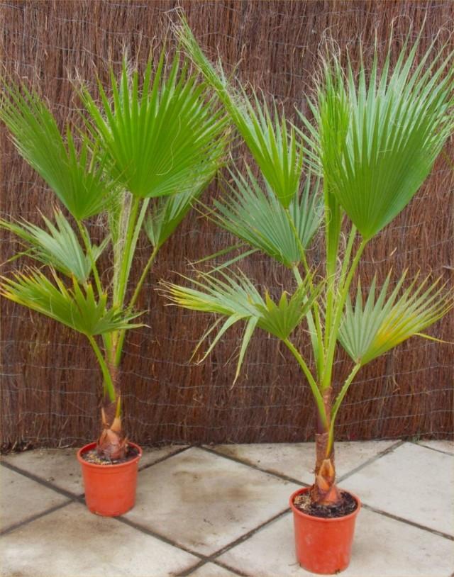 Вашингтонии мощные (Washingtonia robusta) в горшках