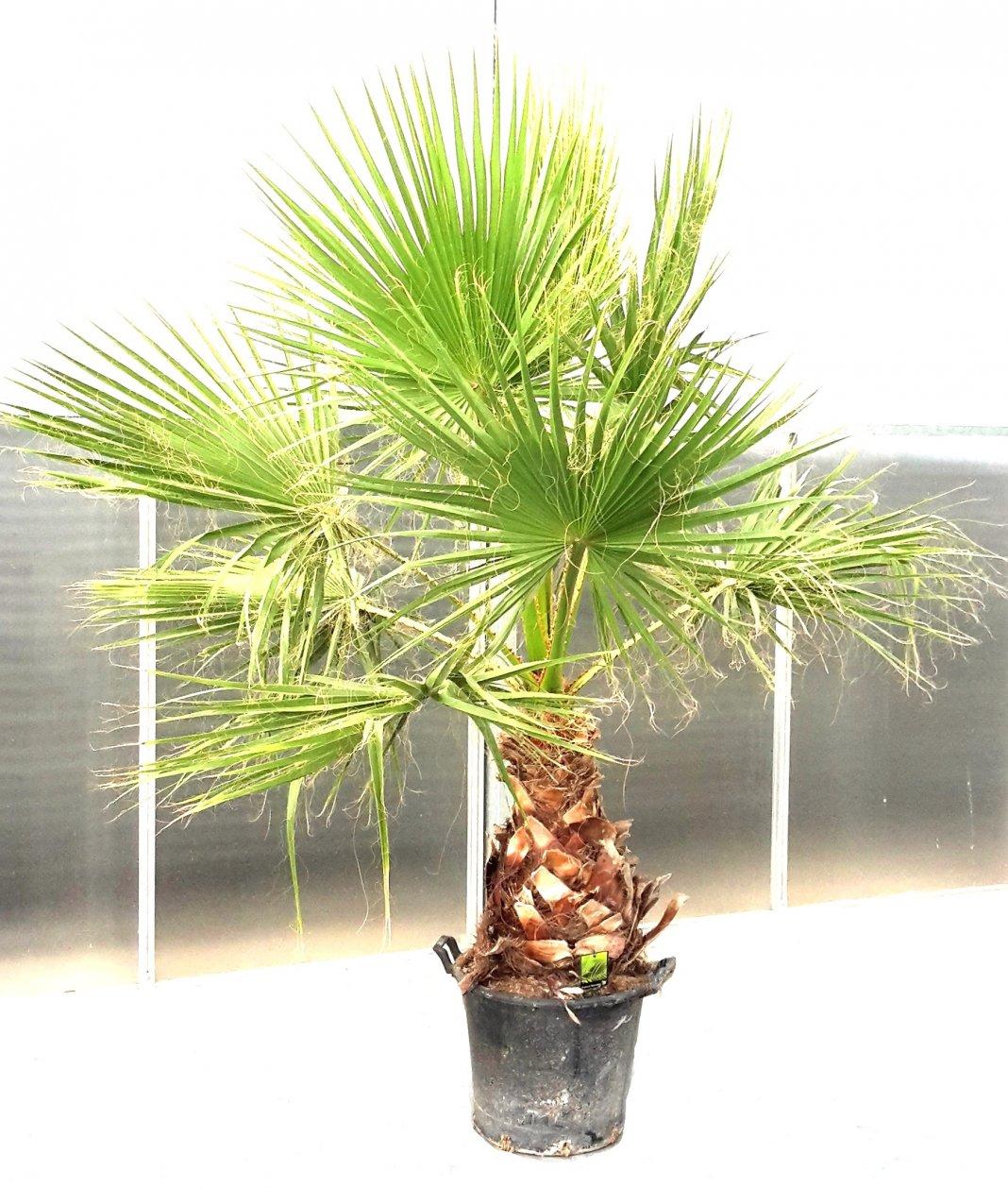 Пальмы выращивание из семян 10