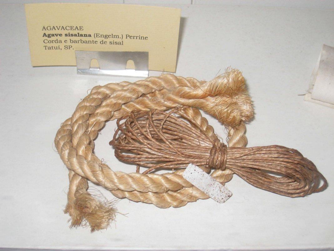 agava-sisalana