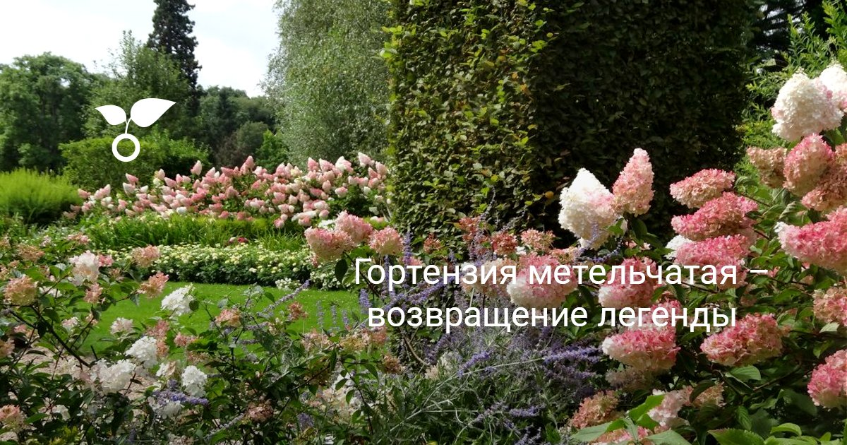 Гортензия метельчатая в ландшафтном дизайне