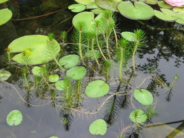 Водные растения в декоративном пруду