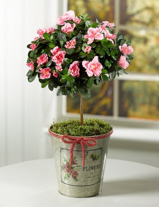 Азалия (Azalea), или Рододeндрон (Rhododendron)