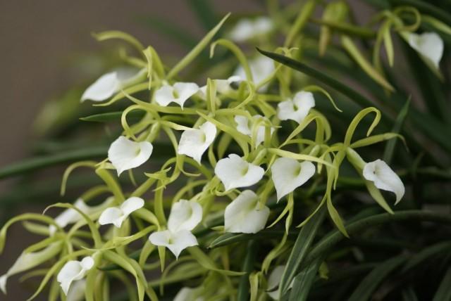 Орхидея Брассавола узловатая (Brassavola nodosa)