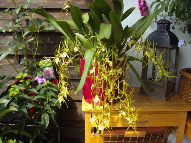 Орхидея Брассия (Brassia)