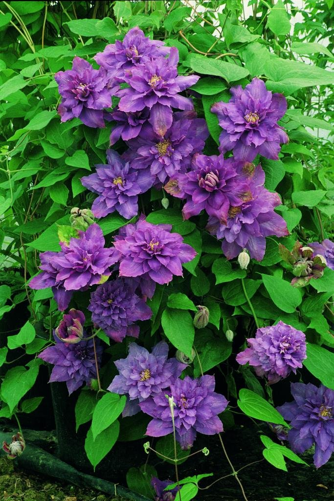 Clematis-Vyvyan-Pennell-2