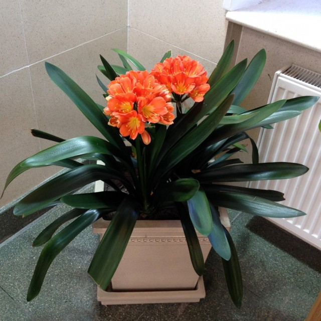 Кливия оранжевая, или кливия киноварная (Clivia miniata)