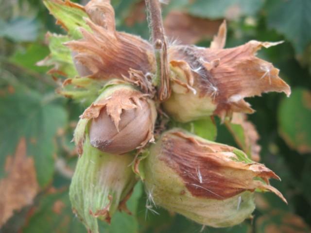 Зрелые орешки лещины на ветке