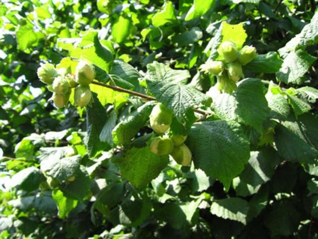 Лещина обыкновенная, или Орешник, или Лесной орех (Corylus avellana)