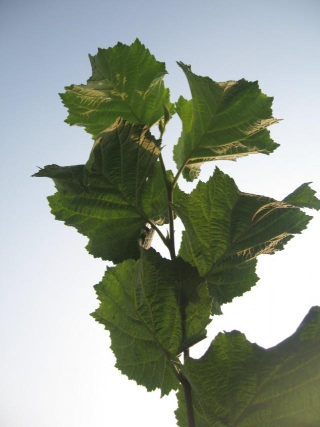 Ветвь лещины с листьями