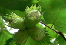 Созревающие орешки Лещины