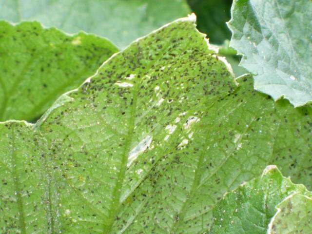 Листья огурца пораженные тлёй
