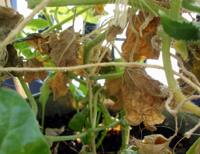 Засыхание нижних листьев огурца